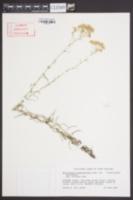Helichrysum angustifolium image