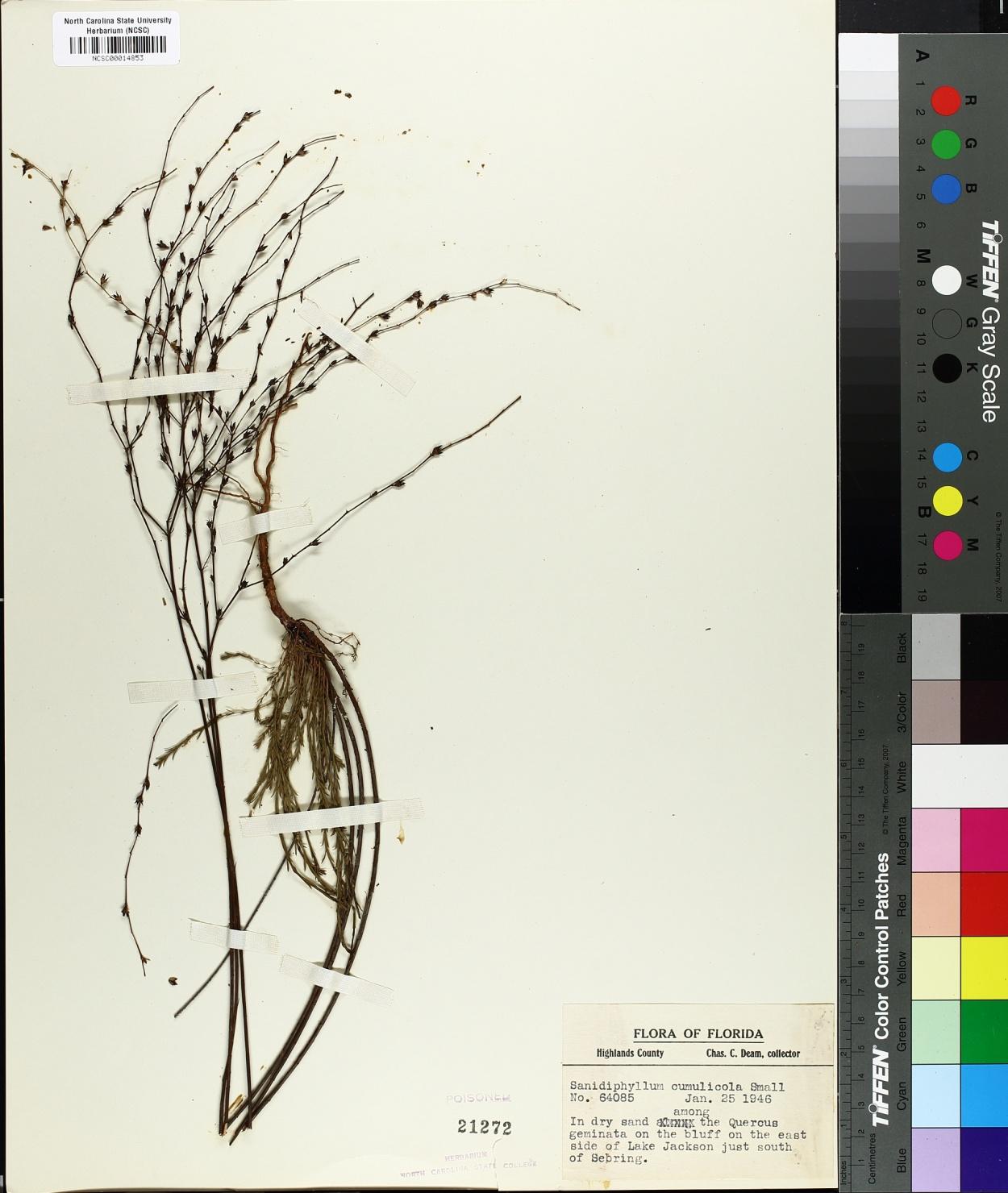 Sanidophyllum cumulicola image