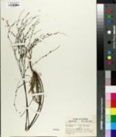 Image of Sanidophyllum cumulicola