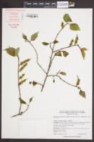Stachyurus chinensis image
