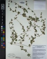 Mirabilis laevis var. villosa image