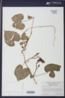 Image of Ipomoea noctiflora