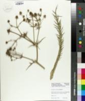 Image of Eryngium venustum