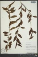 Ximenia americana image