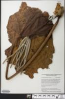Cecropia membranacea image