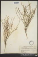 Image of Erigeron gracilis