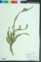 Image of Taiwania cryptomerioides