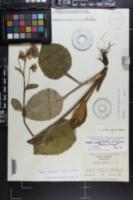 Rugelia nudicaulis image