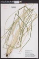 Image of Eleusine kigeziensis