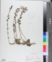 Lobelia puberula image