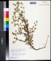 Image of Eryngium aromaticum