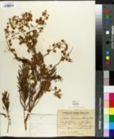 Image of Acacia bonariensis