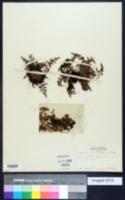 Image of Asplenium nitidulum