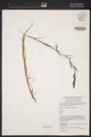 Castilleja minor subsp. spiralis image
