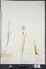 Carex magellanica subsp. irrigua image