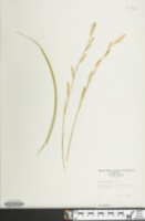 Image of Carex morrowii