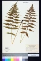 Athyrium filix-femina subsp. asplenioides image