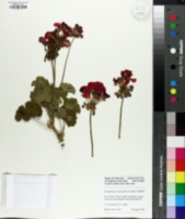 Image of Pelargonium x hortorum