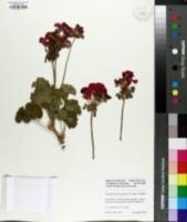 Image of Pelargonium x hortorum