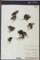 Image of Trichomanes bicorne