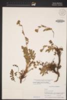 Horkelia cuneata var. cuneata image