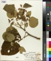 Image of Melochia umbellata