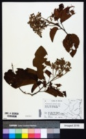 Image of Berrya cubensis