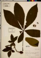 Aesculus x carnea image