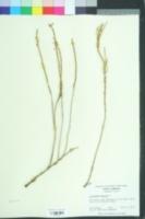 Image of Salicornia maritima