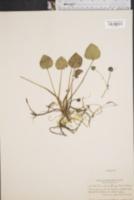 Image of Limnobium spongia