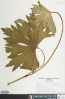 Image of Trautvetteria carolinensis