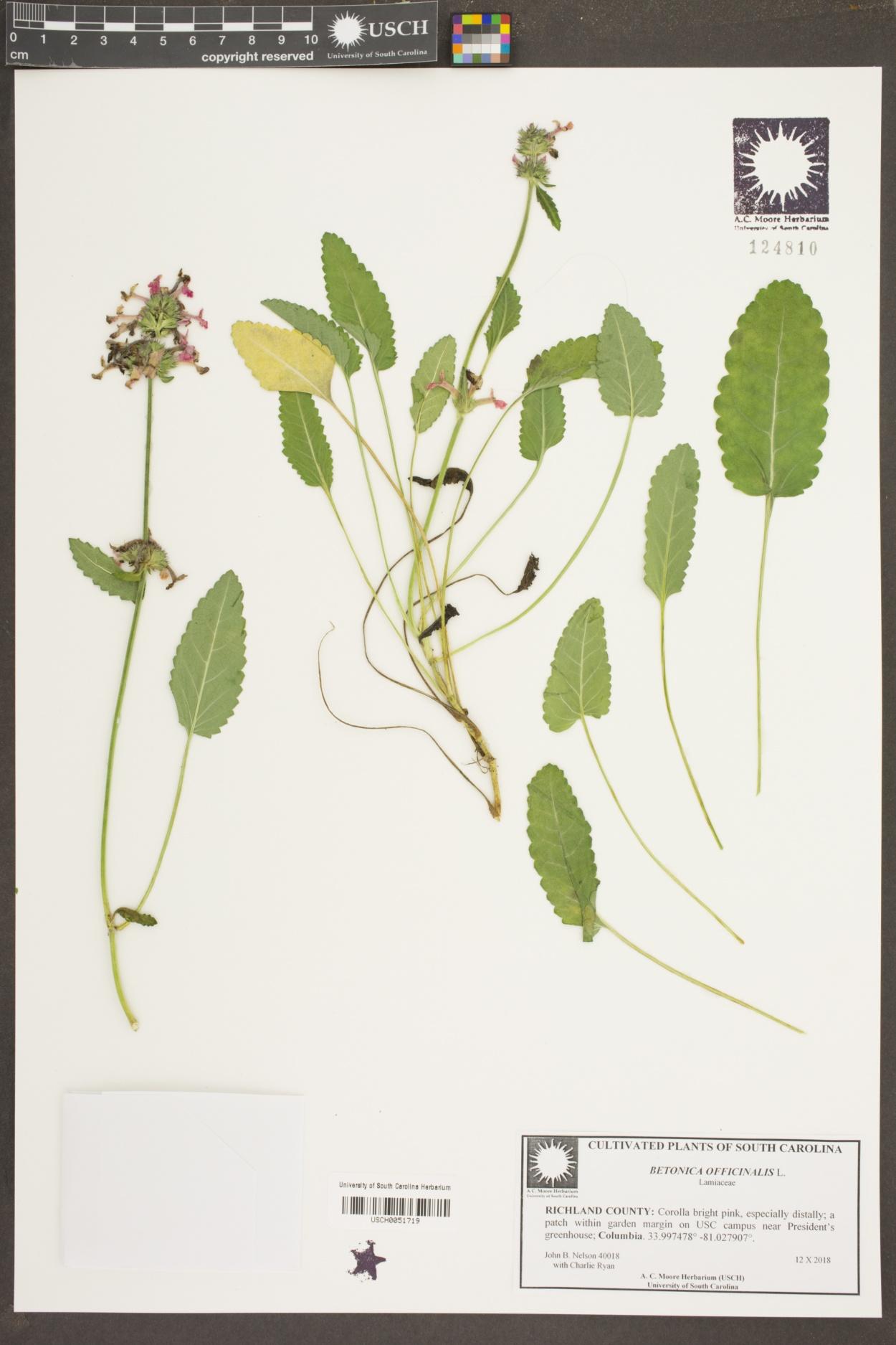 Stachys officinalis image