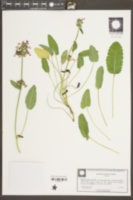 Betonica officinalis image