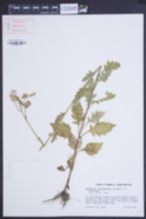 Image of Erechtites valerianifolia