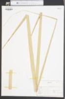 Sabal palmetto image