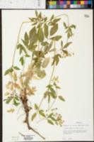 Zizia aurea image