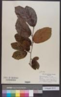 Parrotia persica image