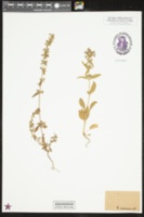 Image of Stachys annua