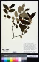 Image of Grewia biloba