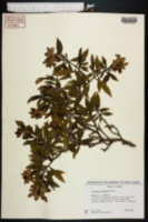 Gardenia radicans image