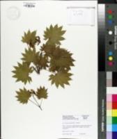 Image of Acer shirasawanum