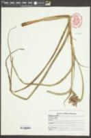 Tradescantia virginiana image