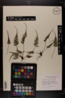Image of Asplenium x trudellii