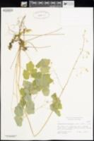 Vancouveria hexandra image