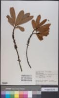 Image of Myrsine salicina