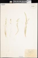Vulpia microstachys var. pauciflora image