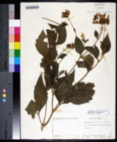 Rudbeckia laciniata image