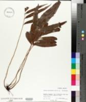 Taenitis blechnoides image