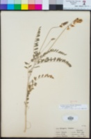 Astragalus trichopodus var. lonchus image