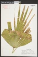 Livistona chinensis image